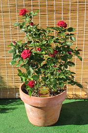 red rose bush potted